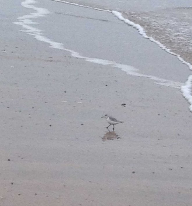 Sanderling sighting