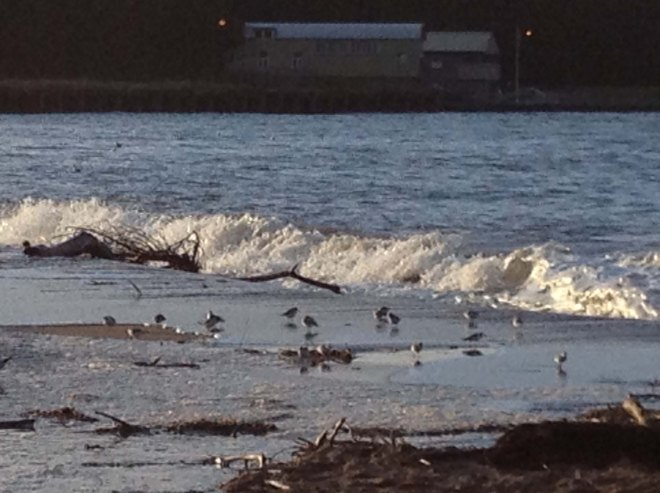 Sanderlings at the mouth of the Tweed
