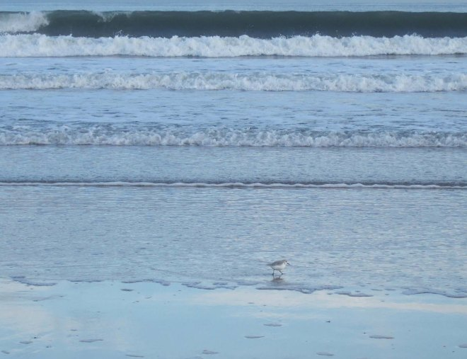sanderlings on beadnell beach 1