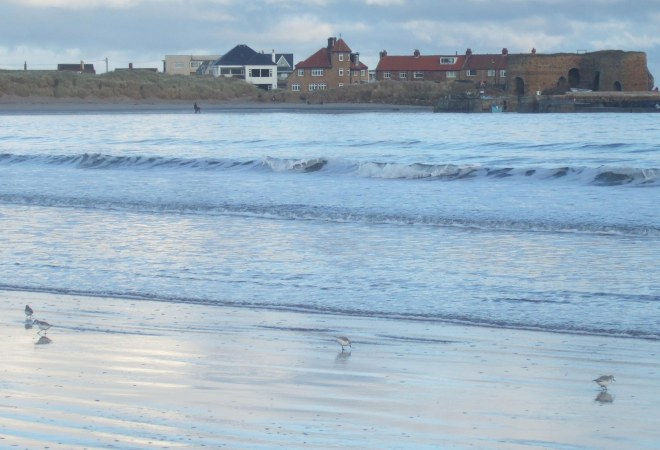 sanderlings on beadnell beach 2