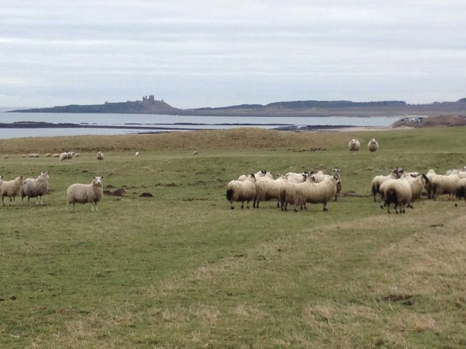 sheep and Bamburgh Castle