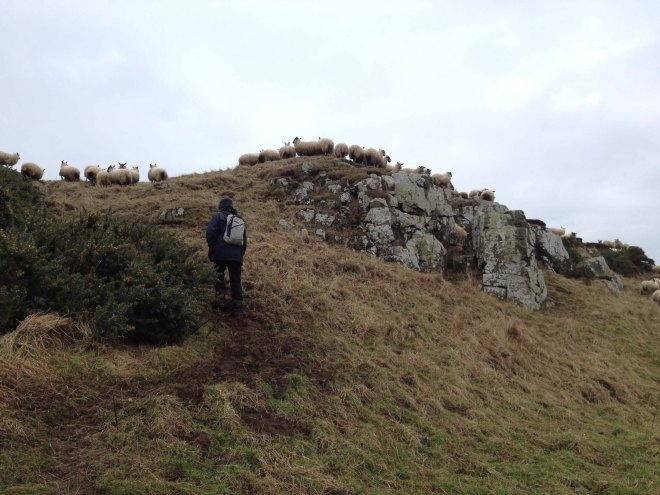 sheep watching warily