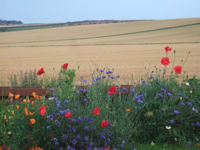 Poppies in front of golden field