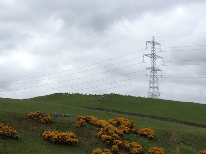 Pylons, sheep and gorse