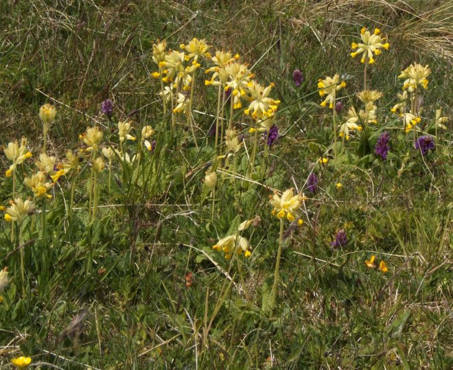 cowslips and orchids