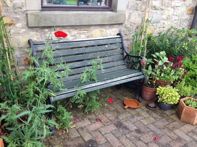 Poppies growing through bench