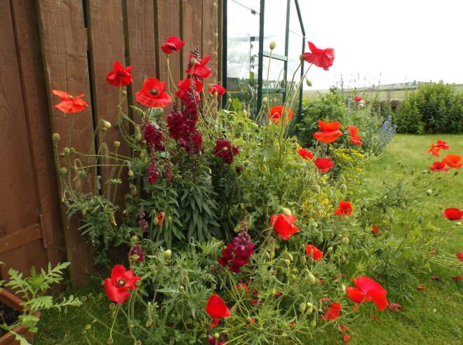 Poppies in the new garden bed