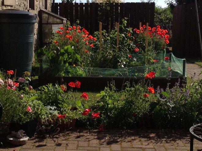 Poppies looking glorious