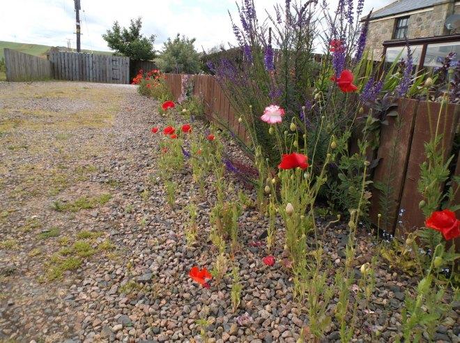 Wild poppy seedlings in lane