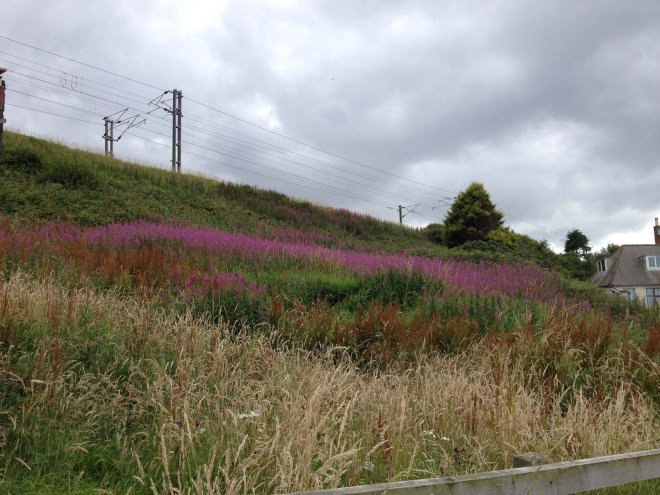 Swathes of purple willowherb