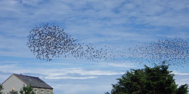 Swirling starlings