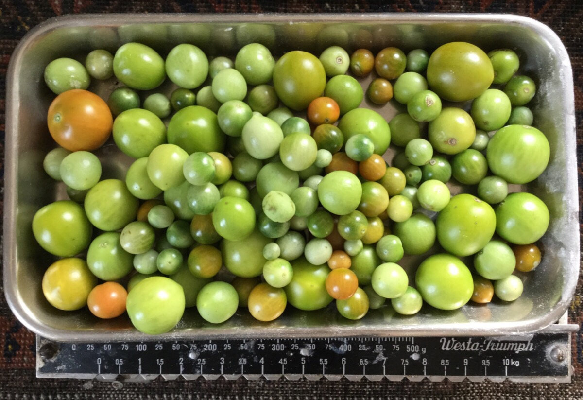 Green tomatoes on the scales