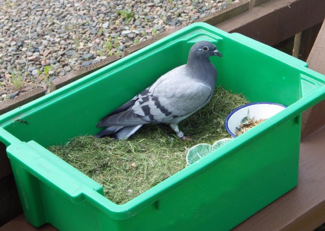 gormy the pigeon