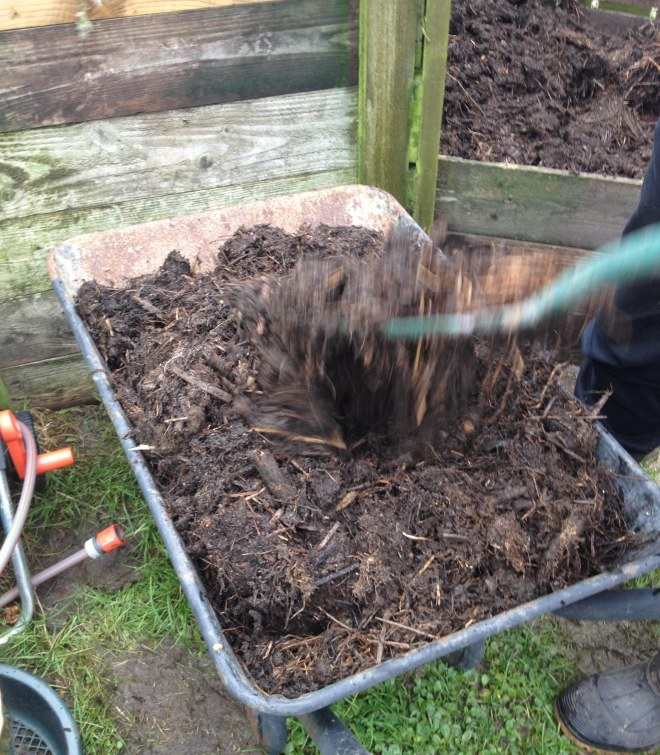 Loading up the wheelbarrow with compost