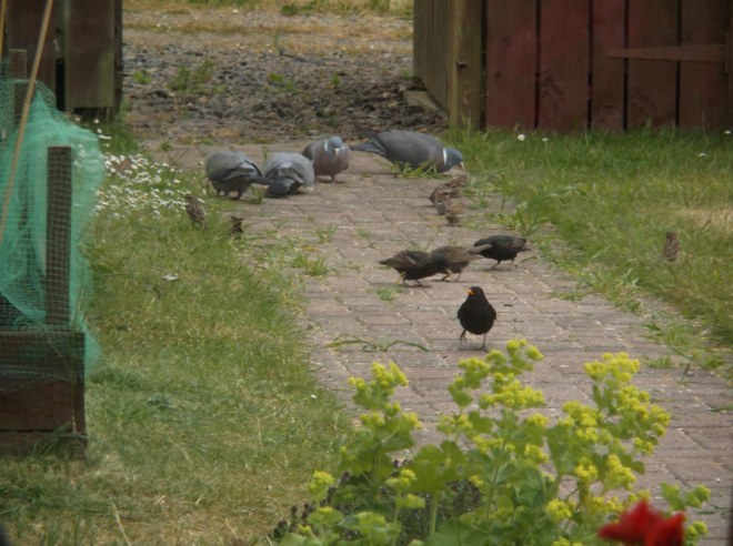 more birds on garden path