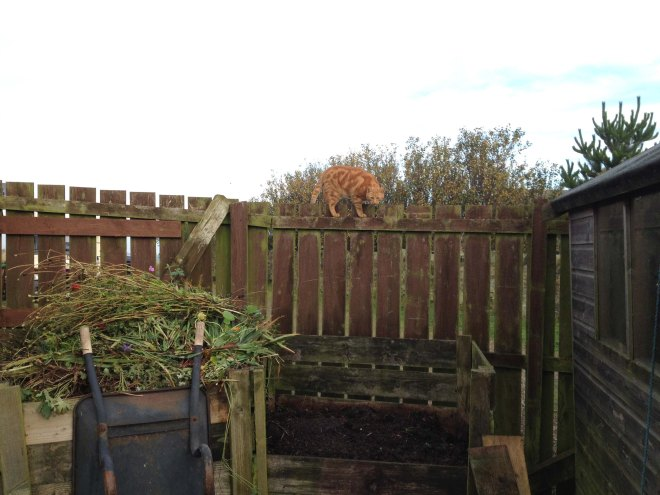 Our neighbour's cat likes the compost heap too