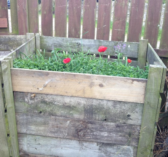Poppies growing in the compost heap