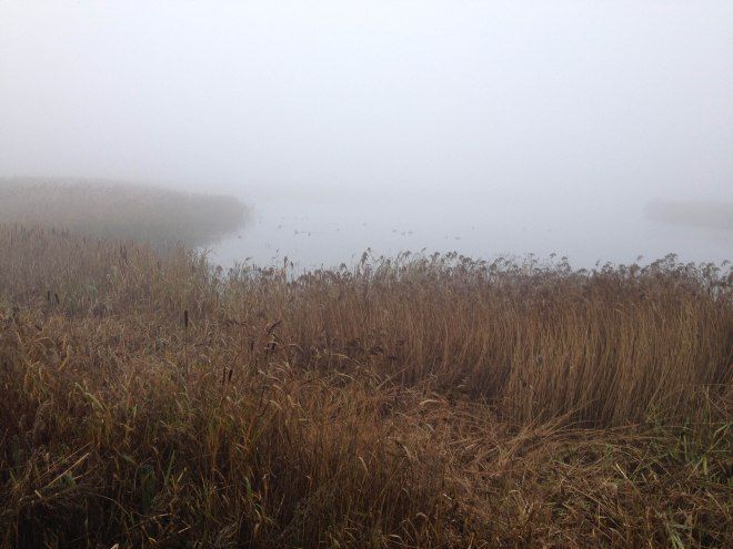 reeds, bullrushes and waterfowl