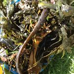 Seaweed on the compost heap