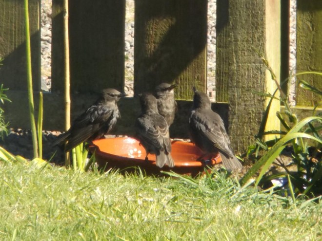 starlings at water bowl