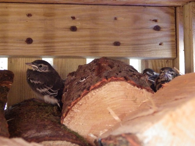 wagtail chicks in woodshed