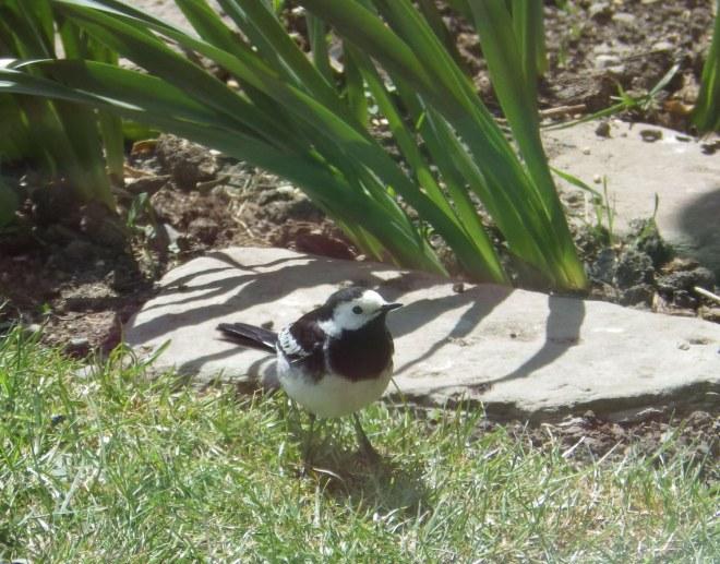 wagtail in garden