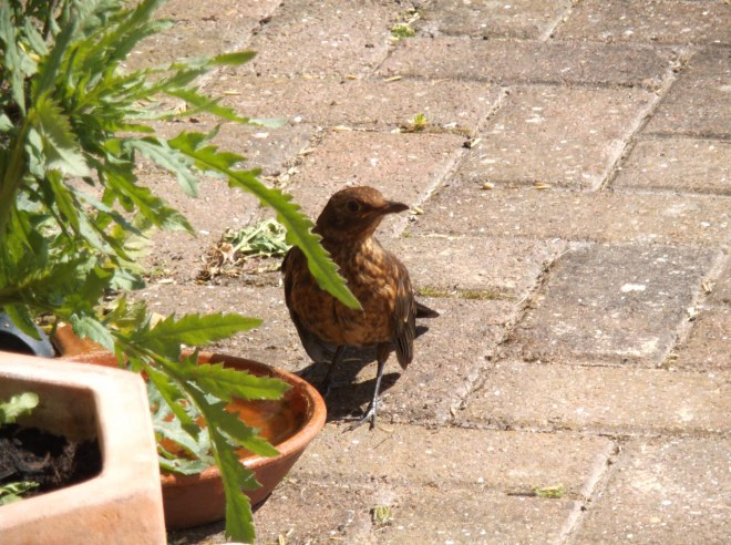 young lady blackbird