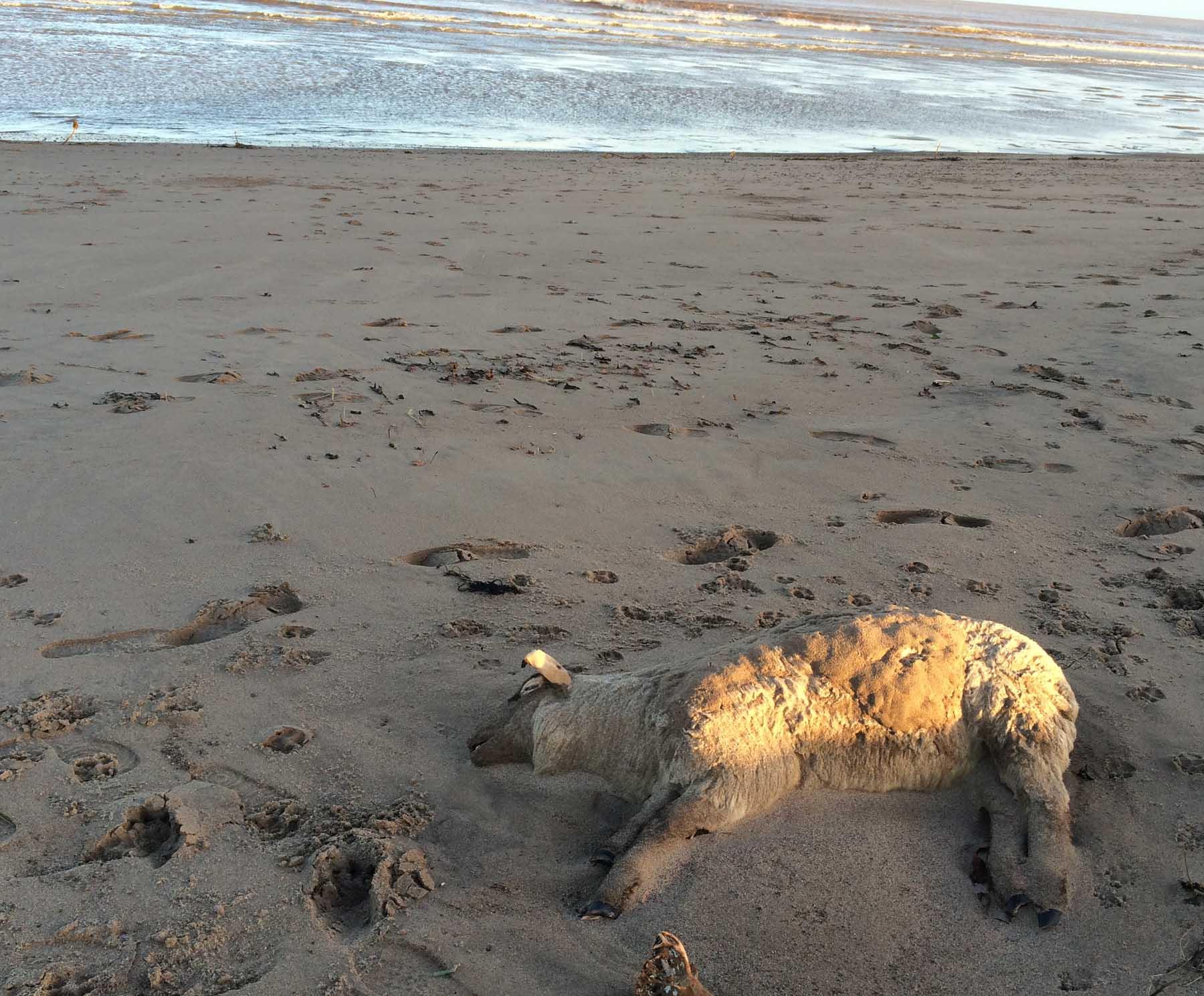 Dead Sheep On The Beach
