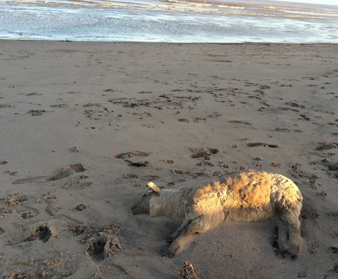 dead sheep on the beach