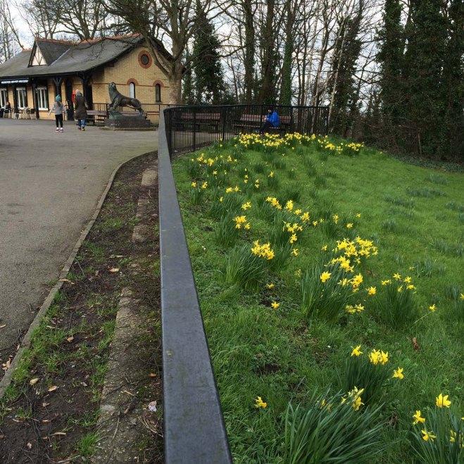 Daffodils at Ally Pally