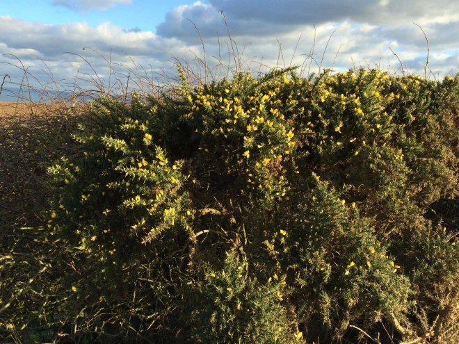 Gorse is out