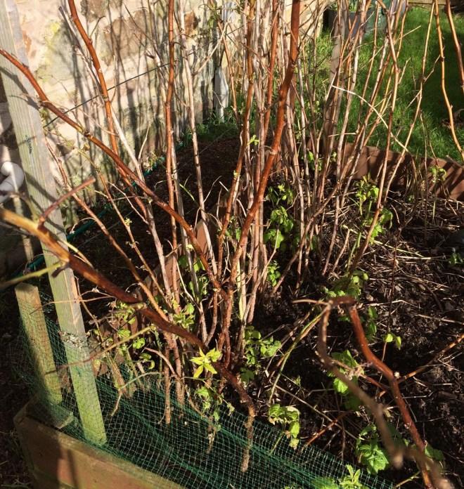 Raspberries sprouting
