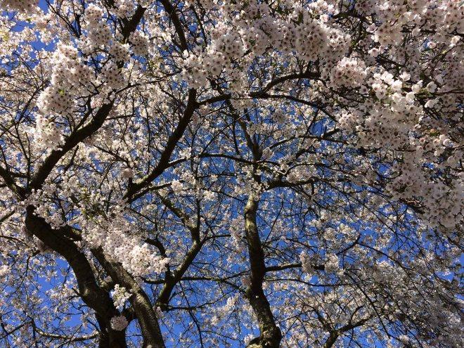 Blossom at Norham church