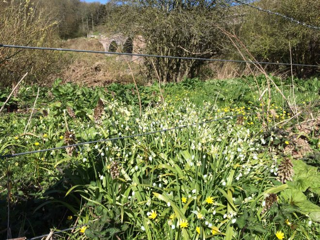 Ramsons and celandines under Ladykirk bridge