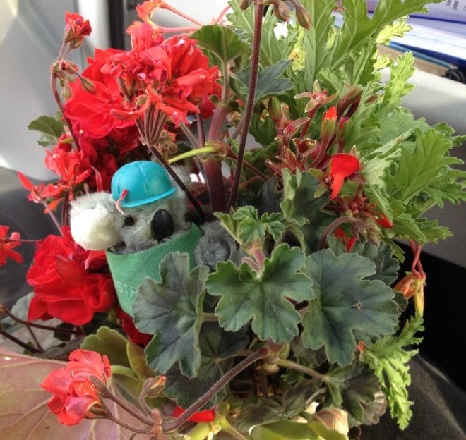 geraniums for RHE's coffin