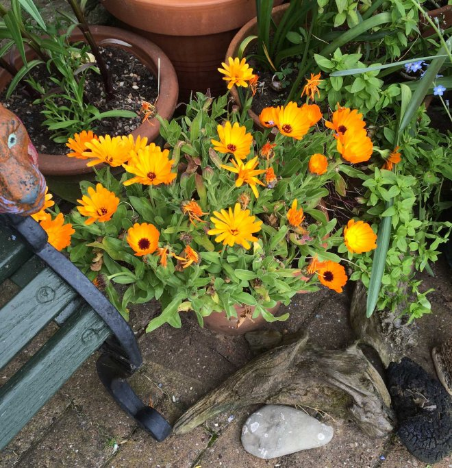 Polly's marigolds