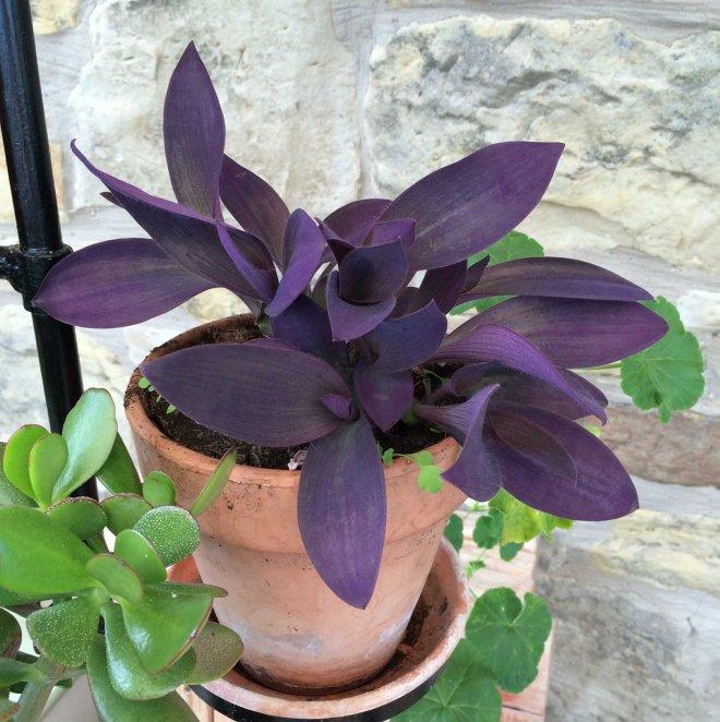 purple houseplant