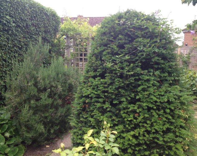 Somerton yew