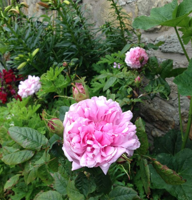 St Lawrence rose