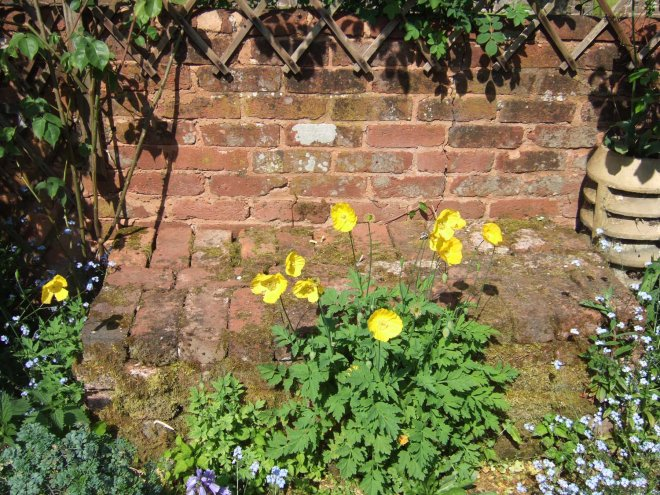 Welsh poppies in Devon