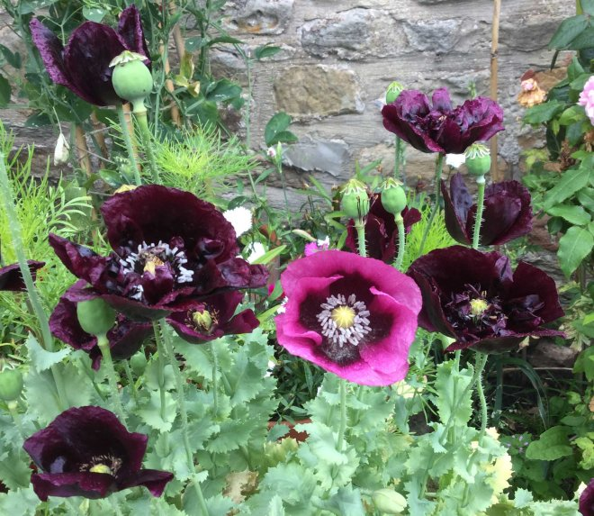 black and pink poppies
