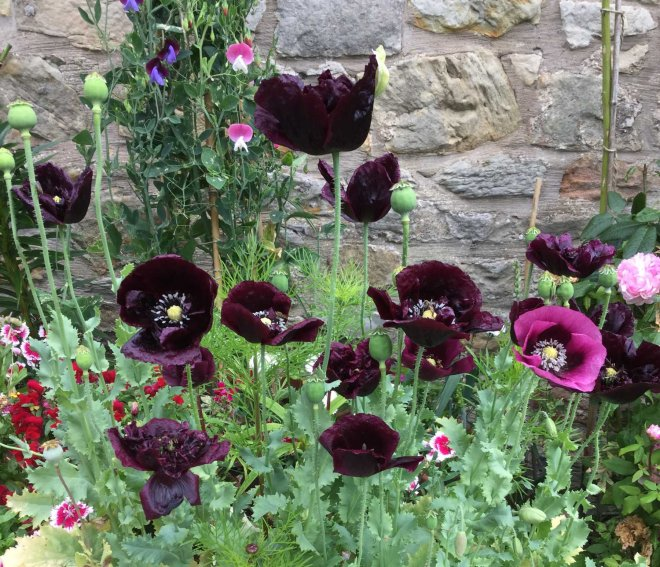 black and pinker poppies