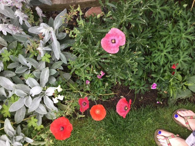 collection of seeded poppies