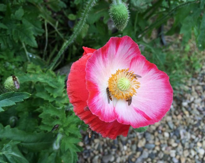 fancy poppy and insects
