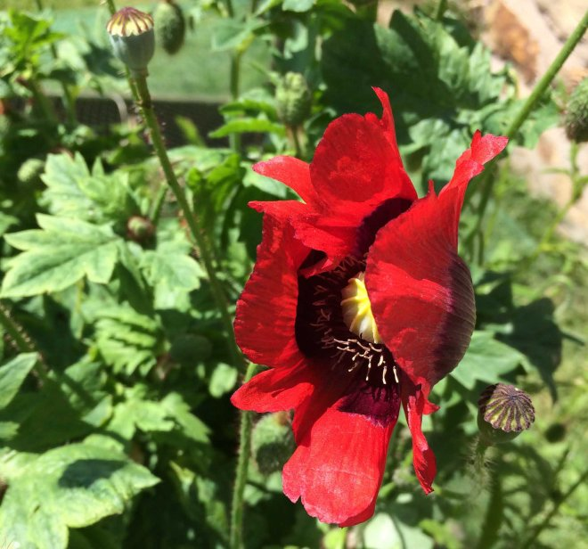 frilled red poppy