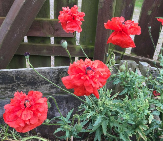 frilly selfseeded poppies in compost heap