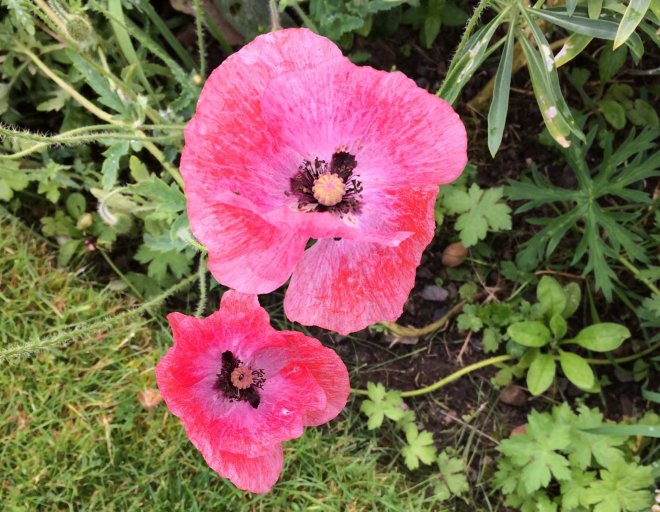 mid pink poppies