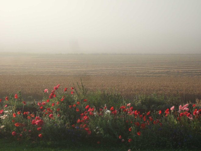 misty poppy mornings