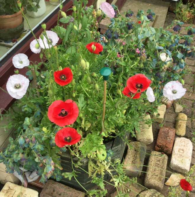 poppies and bricks