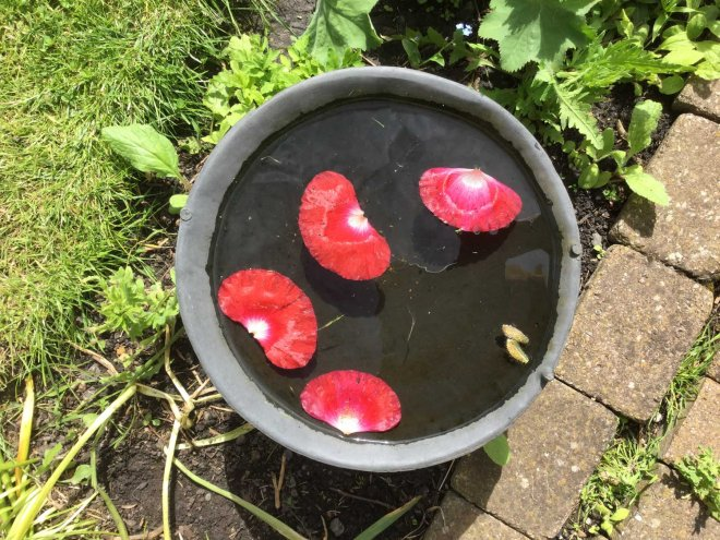 poppy petals in bird bath